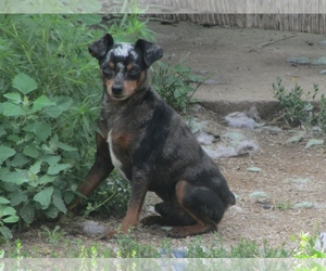Image of breed Harlequin Pinscher