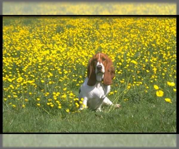 Image of Basset Hound Breed