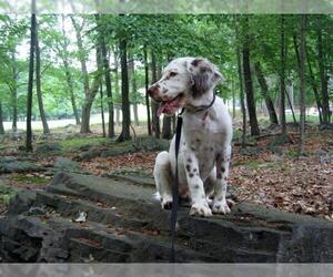 Image of Llewellin Setter Breed