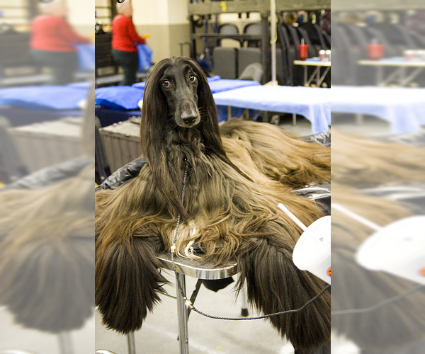 Medium Photo #4 Afghan Hound Dog Breed