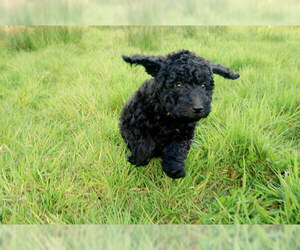 Small #4 Breed Labradoodle image