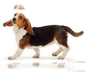 Small #6 Breed Basset Hound image