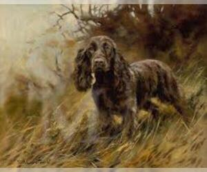 Small #1 Breed Field Spaniel image