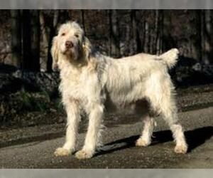 Small #4 Breed Spinone Italiano image