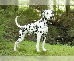 Small #4 Breed Dalmatian image