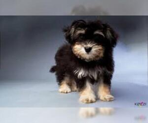 Small #12 Breed Havanese image