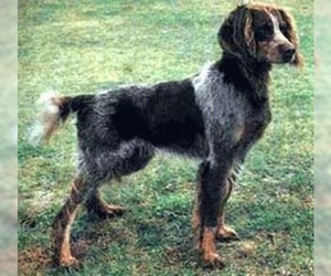 Image of Picardy Spaniel breed