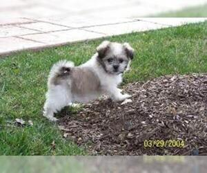 Small #1 Breed Shih-Mo image