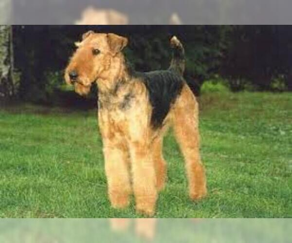Medium Photo #2 Airedale Terrier Dog Breed