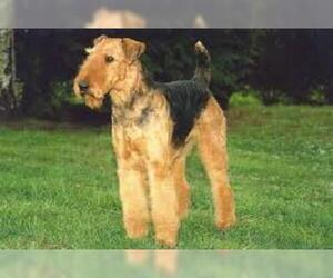 Small Photo #2 Airedale Terrier Dog Breed