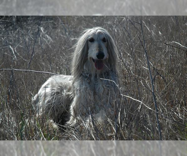 Medium Photo #6 Afghan Hound Dog Breed