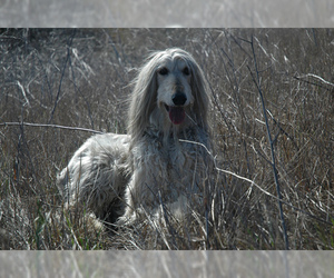 Small #5 Breed Afghan Hound image