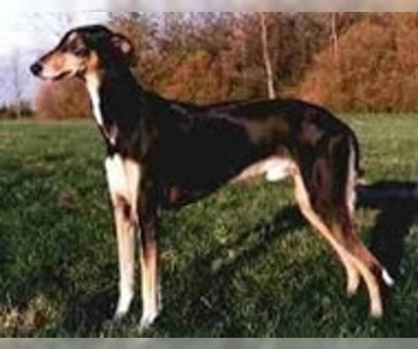 Image of Polish Greyhound Breed