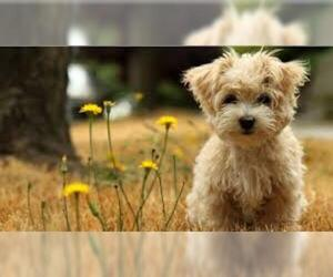 Small #2 Breed Norfolk Terrier image