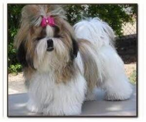 Image of breed Affen Tzu