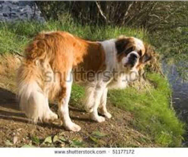 Medium Photo #3 Saint Bernard Dog Breed