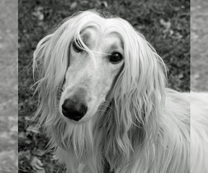 Small #15 Breed Afghan Hound image