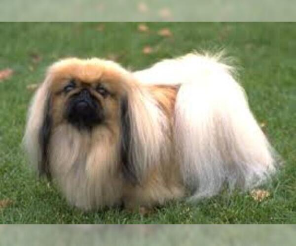 Medium Photo #3 Pekingese Dog Breed