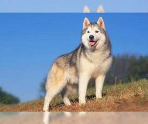 Small #3 Breed Siberian Husky image