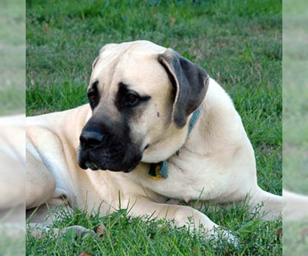 American Mastiff Breed Information And Pictures On