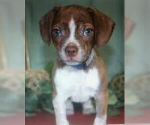 Small #3 Breed Boglen Terrier image