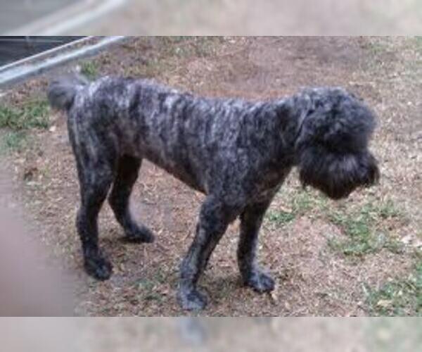 Medium Photo #2 Bouvier Des Flandres Dog Breed