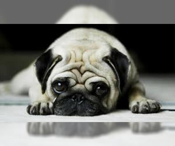 Medium Photo #13 Pug Dog Breed