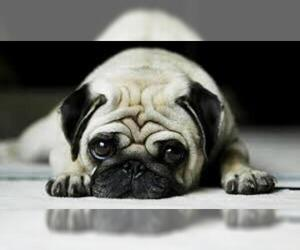 Small Photo #13 Pug Dog Breed