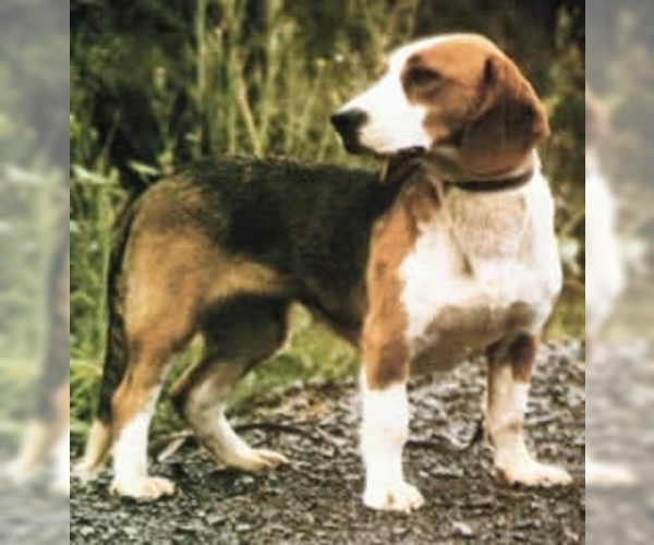 Image of Westphalian Dachsbracke Breed