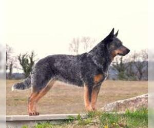 Small #3 Breed Australian Cattle Dog image
