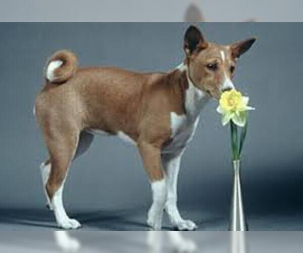 Medium Photo #2 Basenji Dog Breed