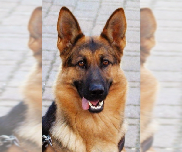 Image of German Shepherd Dog Breed