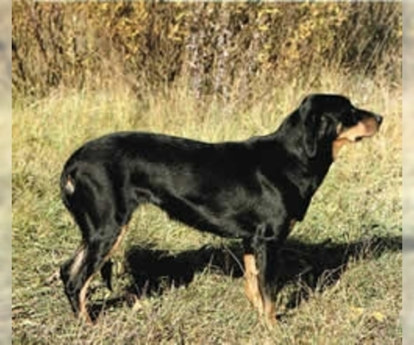 Lithuanian Hound