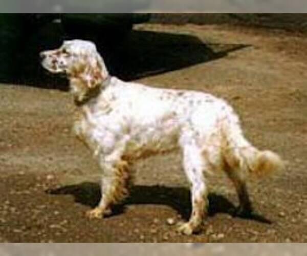 Medium Photo #2 English Setter Dog Breed