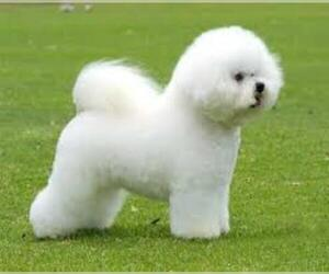 Small #4 Breed Bichon Frise image