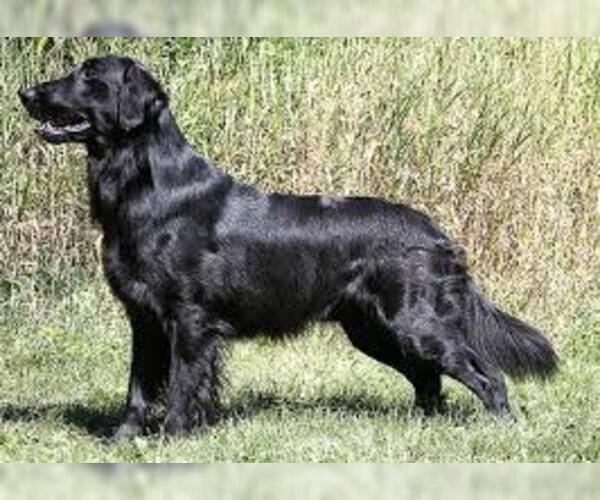 Medium Photo #7 Flat Coated Retriever Dog Breed