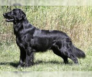 Small Photo #7 Flat Coated Retriever Dog Breed