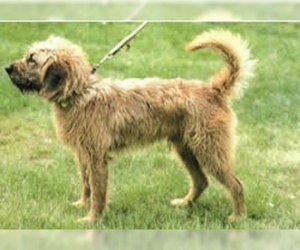 Styrian Coarse-haired Hound
