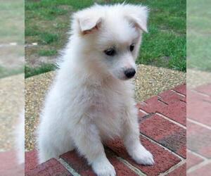Small #1 Breed American Eskimo Dog (Toy) image