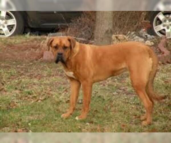 Medium Photo #2 American Bull Dogue De Bordeaux Dog Breed