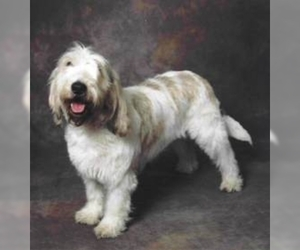 Grand Basset Griffon Vendeen (mini)