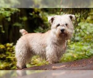 Small #7 Breed Glen of Imaal Terrier image