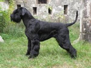 Small #5 Breed Schnauzer (Giant) image