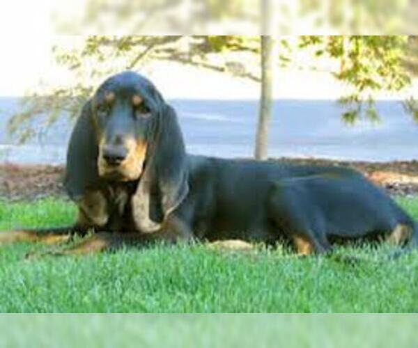 Medium Photo #6 Black and Tan Coonhound Dog Breed