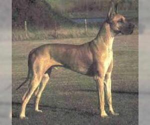 Small Photo #3 Great Dane Dog Breed