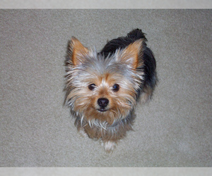 Small #6 Breed Chorkie image