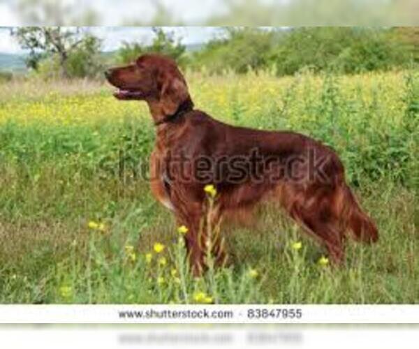 Medium Photo #4 Gordon Setter Dog Breed