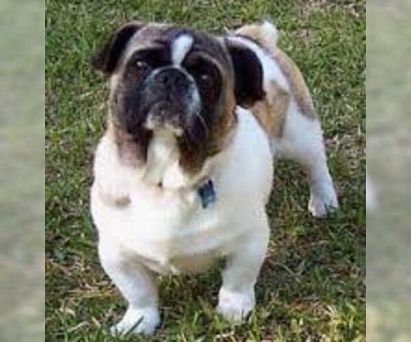 Medium Photo #4 American Bullnese Dog Breed