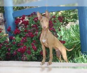 Small #1 Breed Pharaoh Hound image