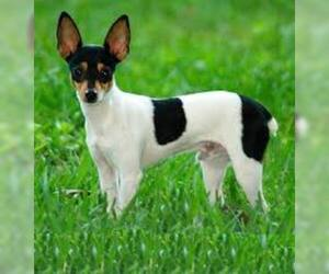 Fox Terrier (Toy)